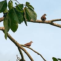Eared Doves (Zenaida auriculata) perch on a branch in Peru's Amazon Jungle.
