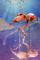 Two pink flamingos highlighted in blue and purple fantasy lighting, taken at the Saint Louis Zoo.<br /> <br /> Flamingos often stand on one leg, the other leg tucked beneath the body. The reason for this behavior is not fully understood. Recent research indicates that standing on one leg may allow the birds to conserve more body heat, given that they spend a significant amount of time wading in cold water. However, the behavior also takes place in warm water. As well as standing in the water, flamingos may stamp their webbed feet in the mud to stir up food from the bottom.<br /> Young flamingos hatch with grayish reddish plumage, but adults range from light pink to bright red due to aqueous bacteria and beta-Carotene obtained from their food supply. A well-fed, healthy flamingo is more vibrantly colored and thus a more desirable mate; a white or pale flamingo, however, is usually unhealthy or malnourished. Captive flamingos are a notable exception; many turn a pale pink as they are not fed carotene at levels comparable to the wild
