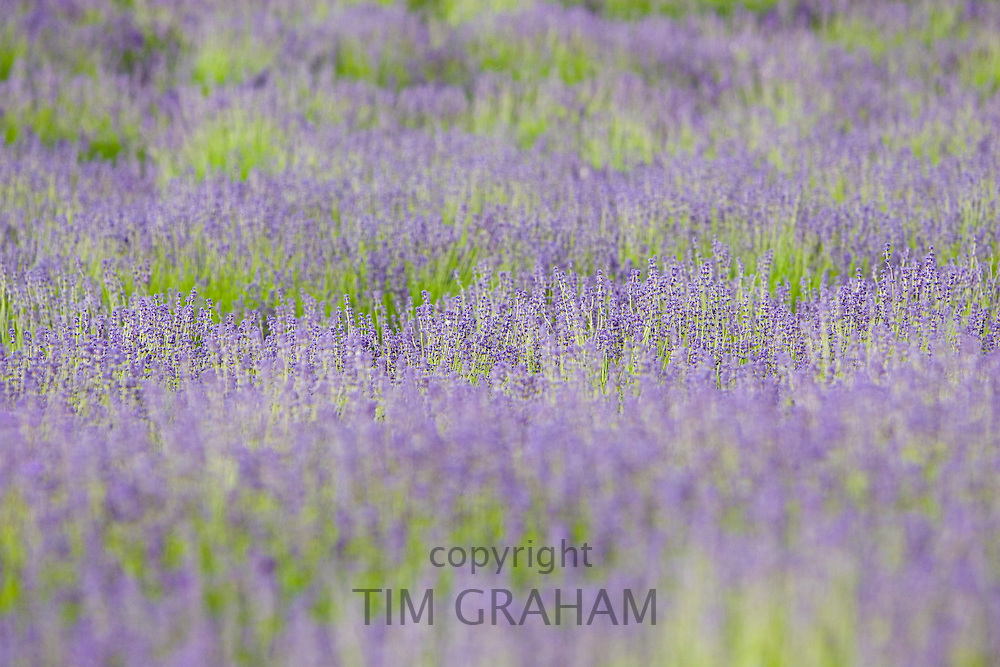 Snowshill lavender field, Worcestershire, United Kingdom The Cotswolds