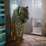NL/Amersfoort/20200813 -  Bilal Wahib schept tijgerpoep in de  dierentuin, Siberische tijger