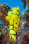 Minor Notodoris nudibranch - Agincourt Reef, Great Barrier Reef, Queensland, Australia. <br /> <br /> Editions:- Open Edition Print / Stock Image