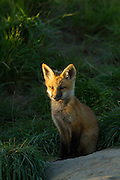 Red Fox Kit in central Montana