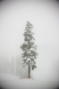 Trees in heavy fog on Blackcomb Mountain, in the Whistler ski resort, British Columbia, Canada.