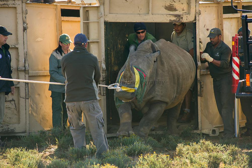 White Rhinoceros (Ceratotherium simum) released in Great Karoo from Kruger National Park<br /> Private Reserve<br /> SOUTH AFRICA<br /> RANGE: Southern & East Africa<br /> ENDANGERED SPECIES<br /> (MR)