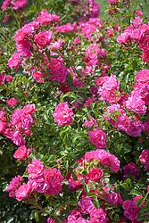 Rosa 'Flower Carpet Pink'