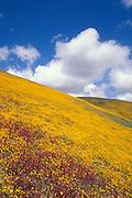 Goldfield (Lasthenia californica) and Owl's Clover (Castilleja densiflora) covering hillside in theTehachapi Mountains, Angeles National Forest, California