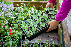 Putting trays of tender plants - salvias - into a coldframe to harden off