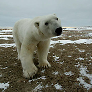 Polar Bear (Ursus maritimus) A male wandering at Cape Churchill on the shores of Hudson Bay near Churchill, Manitoba. Waiting for the ice to freeze. November. Canada. Winter.