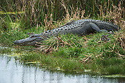 American Alligator (Alligator mississippiensis) with young<br /> Little St Simon's Island, Barrier Islands, Georgia<br /> USA<br /> RANGE: Wetlands. Native to Southern United States