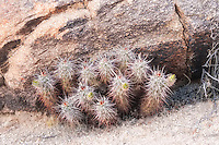 """These strawberry hedgehog cacti are showing some flower buds in Joshua Tree National Park. You can see the distinctive spine coloration which is light grey at the top and reddish/pinkish-brown towards the base, which can be a helpful in identifying which member of the Echinocereus genus you have. The spines are also flattened, and somewhat """"sword-like""""."""
