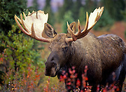 Alaska. Denali National Park. Moose (Alces alces) the largest subspecies of deer in the world, stand 6 ft tall at the shoulder and weigh near 1600 lbs. They live in a range of habitats, from boreal forest to arctic tundra. Moose have an exceptional sense of smell, keen eyesight, and acute hearing to help protect them from predators. Digitally manipulated.