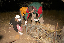 Claudia Greg & Guillermo Putting Animal Back In Cage For Recovery - Geoffroy's Cat