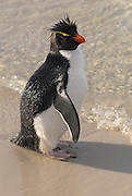 Rockhopper penguin making eye contact standing near the shoreline.