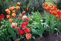 Showing example of poor garden tulip - too top heavy. Tulipa 'Double Gudoshnik'