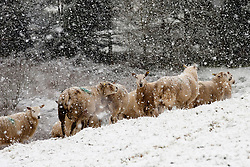 © Licensed to London News Pictures. 03/12/2020. Llanfihangel Nant Melan, Powys, Wales, UK. Ewes stand in a wintry landscape as heavy snow falls near Llanfihangel Nant Melans in Powys, UK. Photo credit: Graham M. Lawrence/LNP