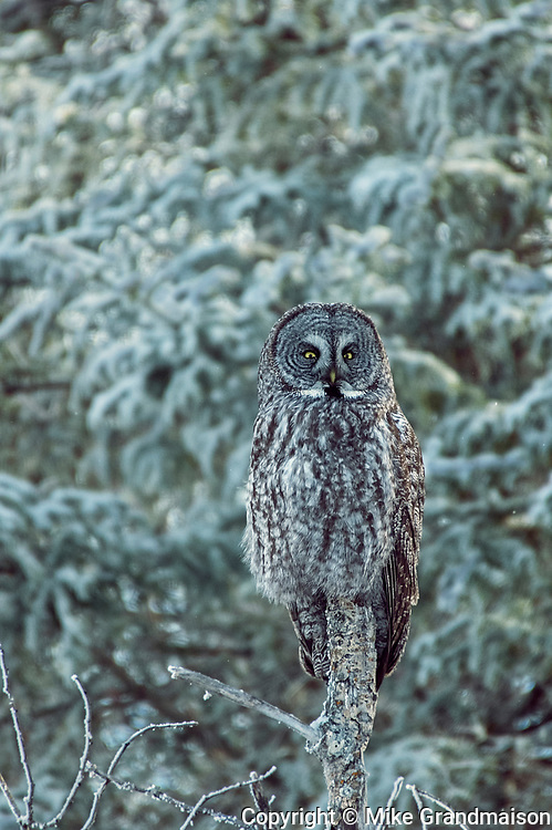 Great gray owl (Strix nebulosa).<br />Belair Provincial Forest<br />Manitoba<br />Canada