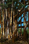 Banyan Tree The Road to Hana