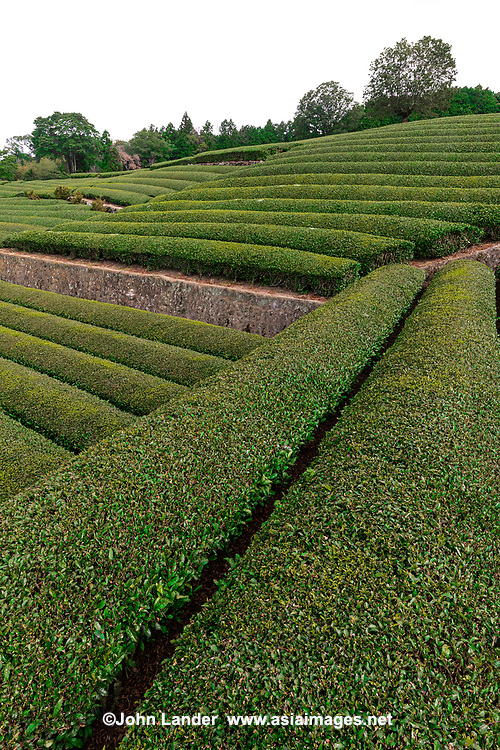 Obuchi Sasaba is a popular spot for viewing Shizuoka's green tea fields, on a clear day Mt Fuji can be seen as a backdrop.  Obuchi Sasaba is a familiar sight to Japanese as it has been used countless times in TV commercials, movie backdrops, and amateur photographs galore.  Nearby there are tea plantations that offer green tea tours, tea tasting as well as the inevitable souvenir shops.  Shizuoka is the largest green tea producing area of Japan and rightfully famous for its high quality tea.  There are quite a few varieties of green tea, known mostly to tea connoisseurs such as gyokuro hand picked tea, sencha, kukicha - mostly referring to the methods of roasting.