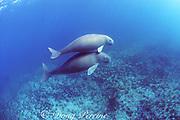 female dugong or sea cow, Dugong dugon, endangered species, and calf, Shark Bay, Australia ( Indian Ocean )