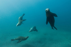 A curious California Sea Lion, Zalophus californianus, peers towards the photographer as its companions cavort in shallow water. Cathedral Cove, E. Anacapa Island, Channel Islands National Marine Sanctuary, California, USA, Pacific Ocean