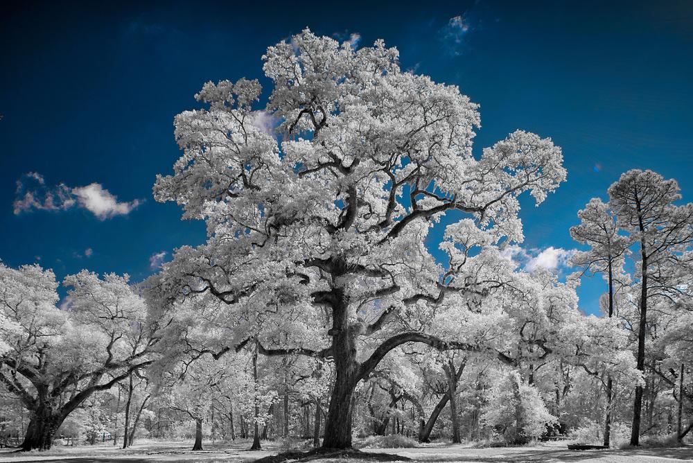 Faux Color Image–Lake Martin Live Oak