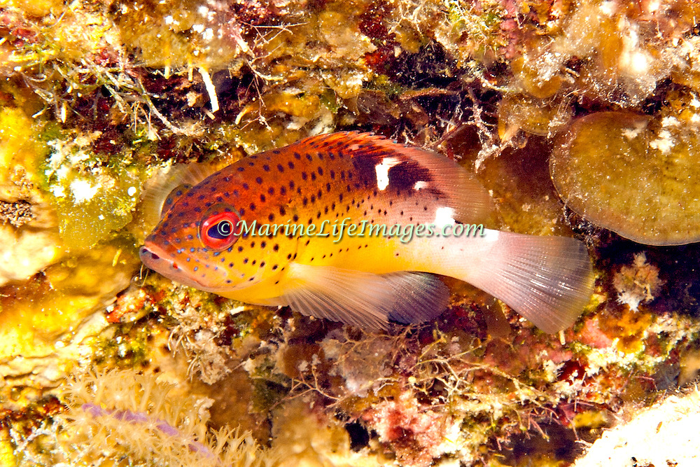 Coney, one color phase, juvenile, inhabit reefs in Tropical West Atlantic; picture taken San Salvador, Bahamas.