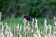 Male Red-winged Blackbird (Agelalus phoeniceus) in the marsh at Elgin Heritage Park in Surrey, British Columbia, Canada