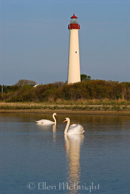 Swans in Front of Cape May Lighthouse in Cape May, NJ