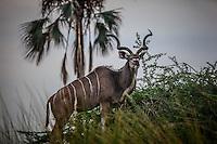 Single Greater Kudu in the Okavango Delta, Botswana.