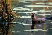 River otter eating catfish in swamp - South Carolina