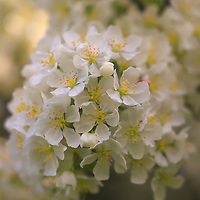 """""""Ivory Blossoms"""" <br /> <br /> Gorgeous golden sunlight shines on apple blossoms in spring creating an ivory and gold floral beauty!"""