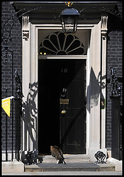 Larry the No 10 Downing St Cat on the eve of the Olympic games, Thursday July 26, 2012. Photo by Andrew Parsons/i-Images.All Rights Reserved ©Andrew Parsons.See Instructions