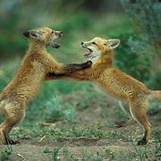 Red Fox, (Vulpus fulva) Pair of fox pups play fighting near den. Spring.