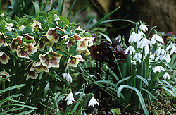 Helleborus x hybridus 'Ashwood Garden Hybrids' with snowdrops - Galanthus