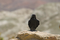 Common raven, Corvus corax, Red Rock Canyon State Park, California