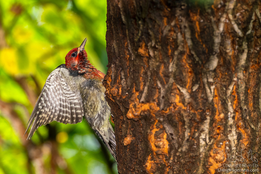 A red-breasted sapsucker (Sphyrapicus ruber) takes a break from drilling sap wells in an elm tree to stretch its wings.