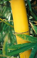 Tallo de bambú, Venezuela