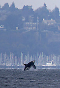 An orca breaches in Elliott Bay with Magnolia in the background, as viewed from Alki Beach in West Seattle. <br /> <br /> Ken Lambert / The Seattle Times