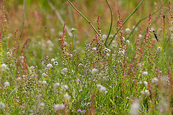 Klein tasjeskruid, Teesdalia nudicaulis