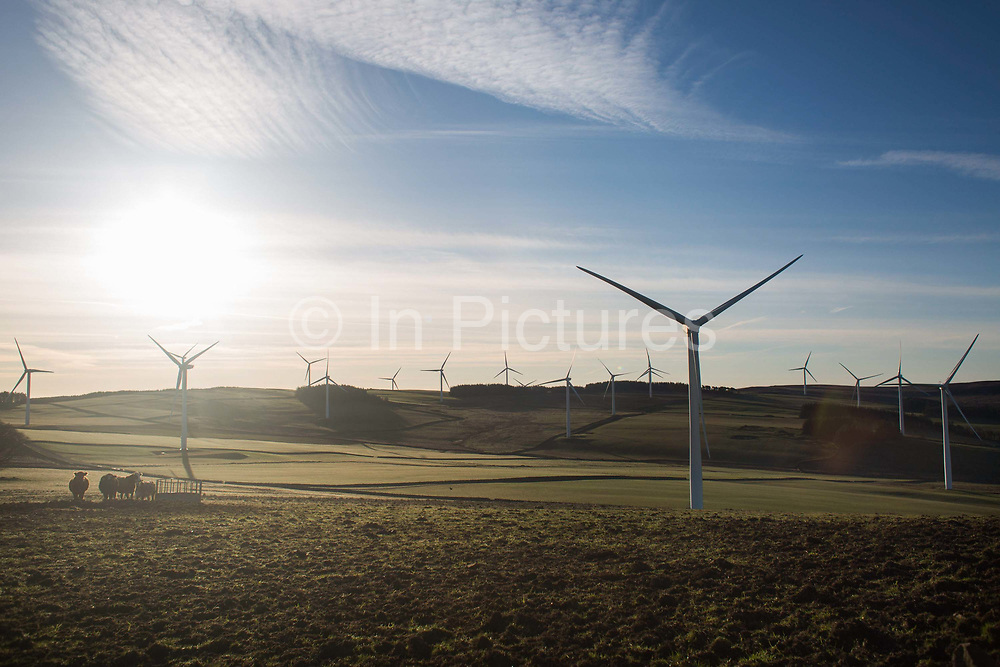 Morning sun over fields of wind turbines. A herd of bulls feed in the sun. The Borders of Scotland is dotted with wind farms which are part of the Scottish Government's policy on expanding the renewable energy sector.