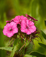 Sweet William wildflowers. Image taken with a Nikon N1V3 camera and 70-300 mm VR lens (ISO 400, 300 mm, f/5.6, 1/800 sec).