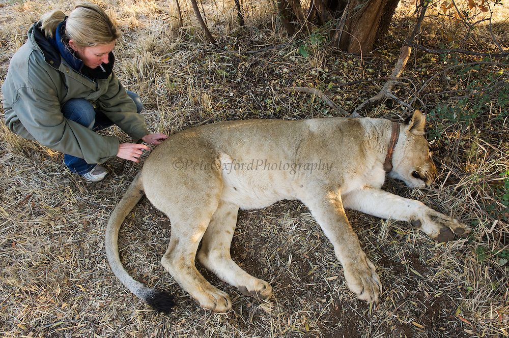 Lionesses darted for relocation to Malawi (Panthera leo) <br /> Pilansberg Game Reserve<br /> North West Province<br /> SOUTH AFRICA