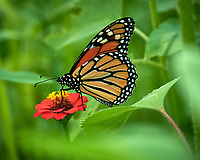 Monarch Butterfly. Image taken with a Nikon D850 camera and 70-300 mm VR lens