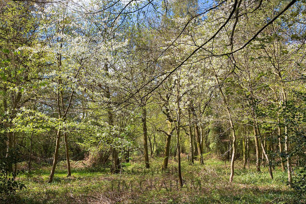 Woodland scene and country walk within Bruern Wood in The Cotswolds, Oxfordshire, UK