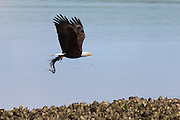 A bald eagle (Haliaeetus leucocephalus) flies with a midshipman fish it caught in the Hood Canal near Seabeck, Washington. Hundreds of bald eagles congregate in the area early in the summer to feast on the migrating fish, which get trapped in oyster beds during low tides.