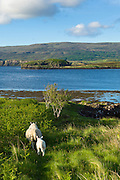 Ewe sheep with lamb, Ovis aries, following close on Isle of Skye in the Highlands and Islands of Scotland