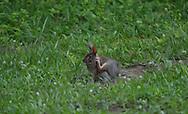 Ohio bunny