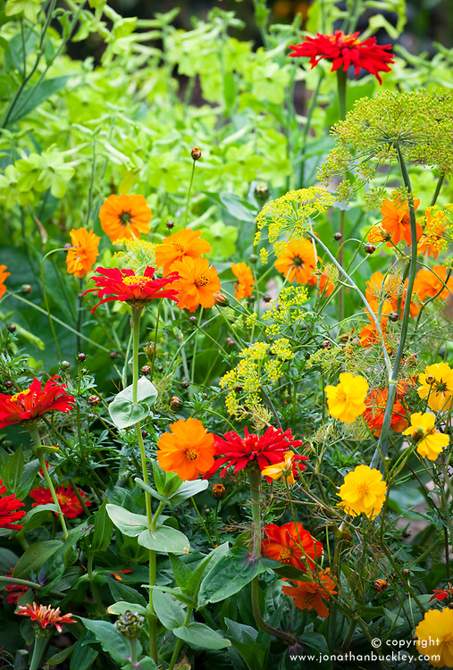 Cosmos bipinnatus Bright Lights mixed with Nicotiana 'Lime Green' (Tobacco plant), Zinnia 'Cactus Orange' and Dill