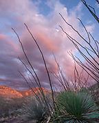 Agave Stalks at Sunset, Santa Catalina Mountains, Coronado National Forest, Cochise County, Arizona