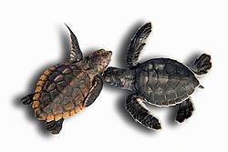 loggerhead turtle hatchling, Caretta caretta, and green sea turtle hatchling, Chelonia mydas, endangered species, Grand Bahama, Bahamas, captive